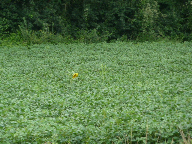 The lone sunflower, still smiling  but looking a bit sad.