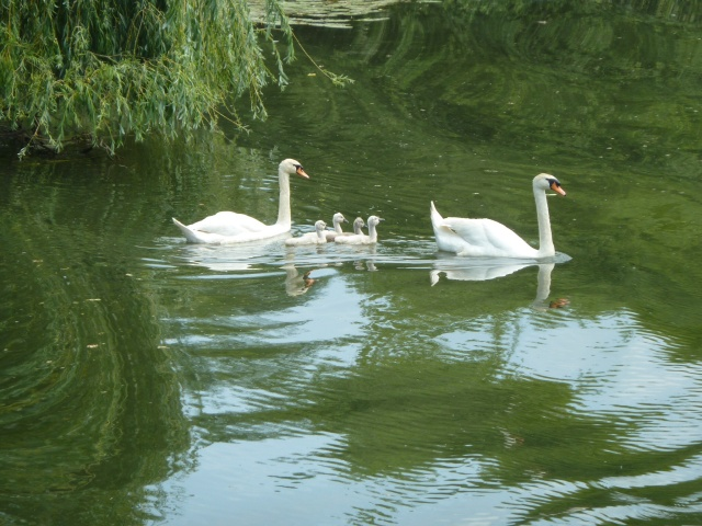 Swans are everywhere on the Seille River. By far the most common bird. A little scary sometimes too.