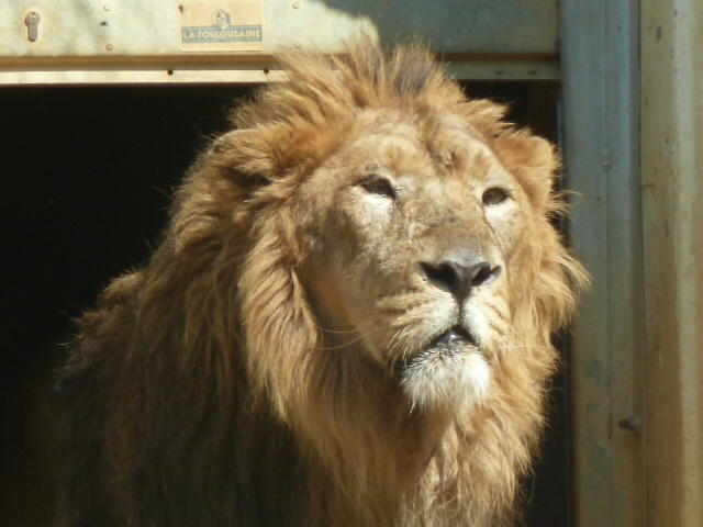 This dude just woke up. He had a bit of a lie-in. Geddit? Lion? Anyone?