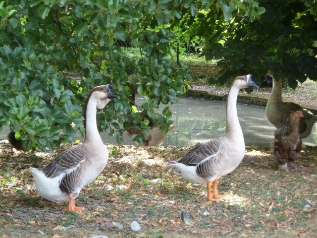 And these. They were feasting on windfall apples.