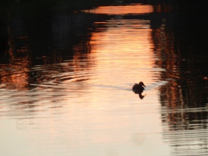 Lone duck enjoying an evening swim.