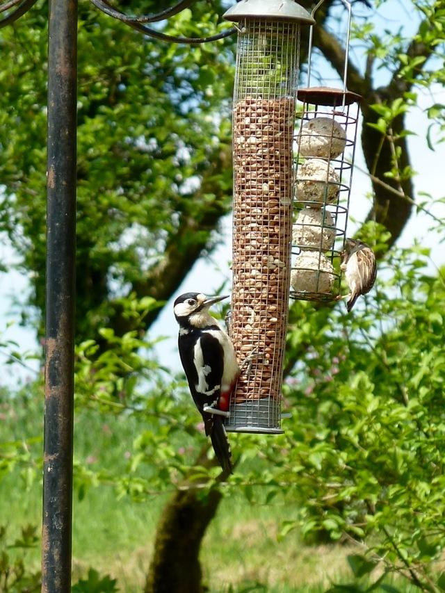 Woody the woodpecker partaking of his daily peanut smorgasbord