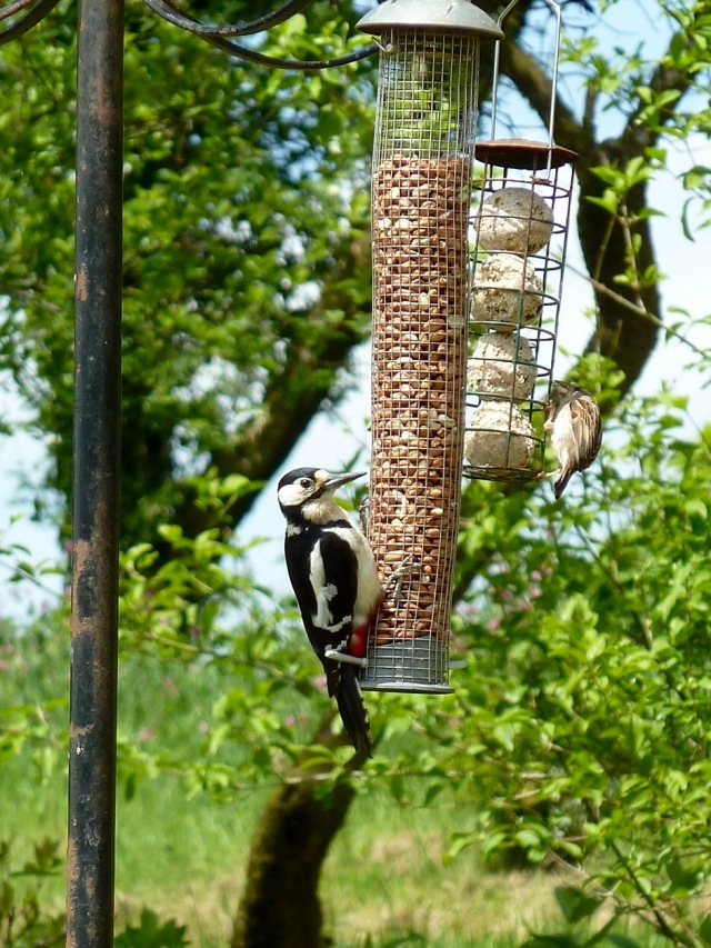 Woody the woodpecker partaking of his daily peanut smorgasbord