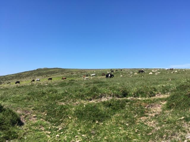 Dartmoor ponies and cattle grazing