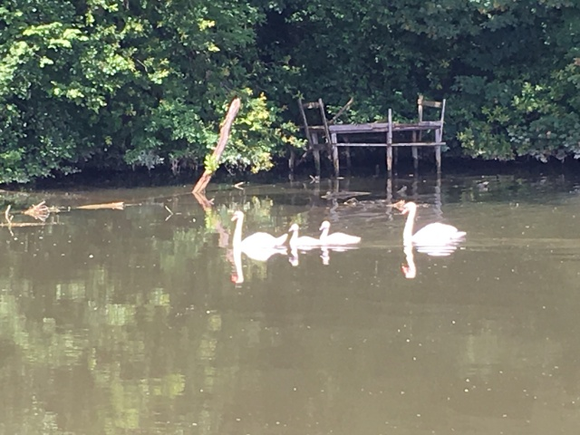 Swans and babies in the Yonne.