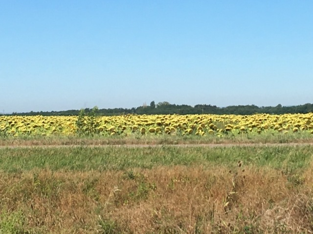 Fields of sunflowers, gazes averted...