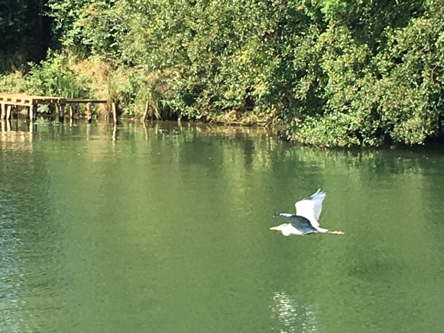 One of the hundreds of herons who make their home on the Saône river.