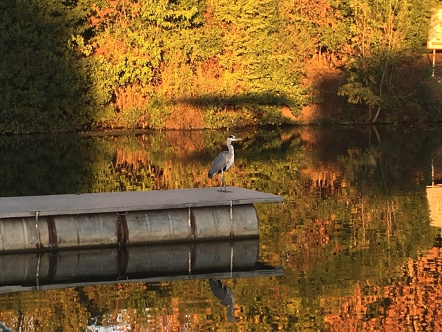 Autumn has definitely arrived. Here is our local heron on pontoon duty in front our our boat. Loving the colours!